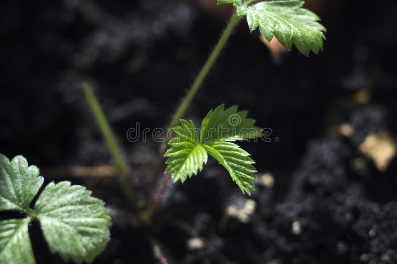 Small strawberry seedlings growing in boxes indoor on window sill close up. Concept Gardening and Agriculture.  stock photography