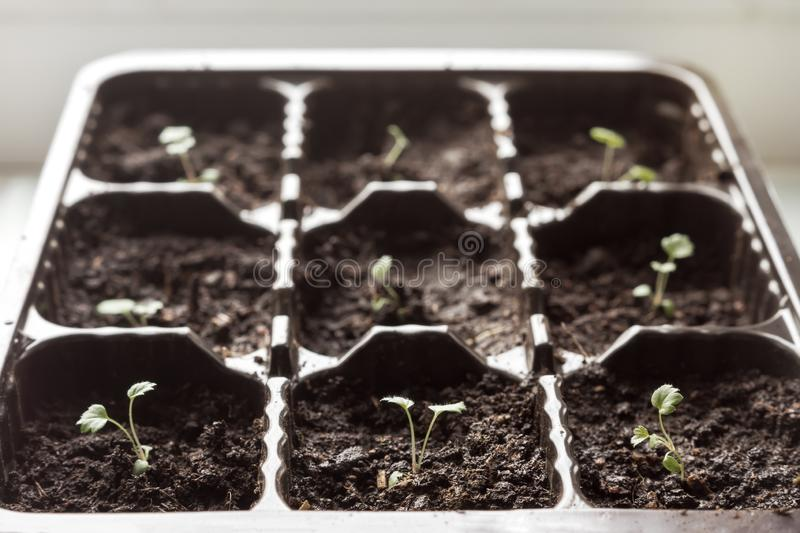 Small strawberry sprouts royalty free stock photography