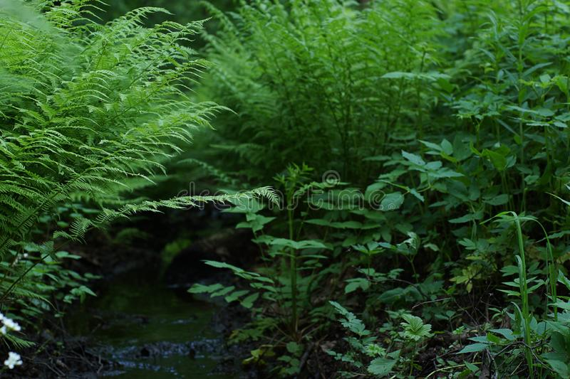 A small stream flows between thickets of green fern royalty free stock photos