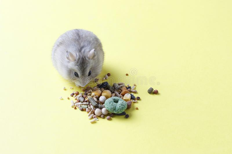 A small, striped hamster eats dry food on yellow background royalty free stock photography