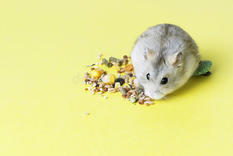 A small, striped hamster eats dry food on yellow background stock photos