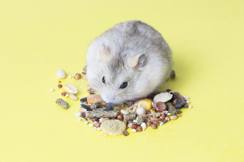 A small, striped hamster eats dry food on yellow background stock photography