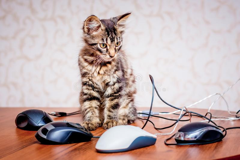 A small striped kitten near a computer mouses. Work in the office at the computer_ royalty free stock photos