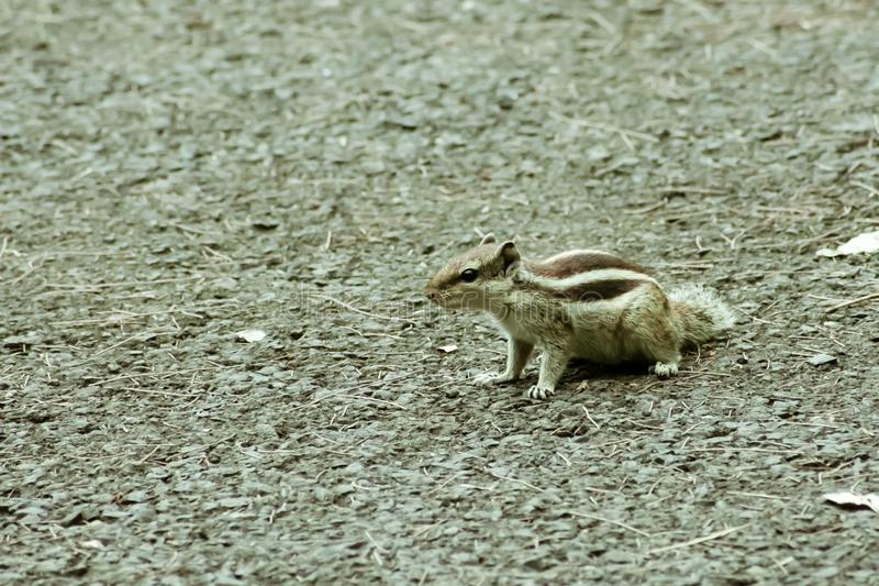 Small striped rodents marmots chipmunks squirrel monkey sciurus fauna adorable creature spotted on hunting mood. Animal Wildlife. Nature wallpapers background stock photography