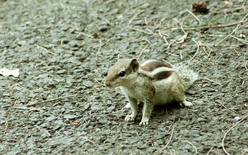 Small striped rodents marmots chipmunks squirrel monkey sciurus fauna adorable creature spotted on hunting mood. Animal Wildlife. Nature wallpapers background royalty free stock photos