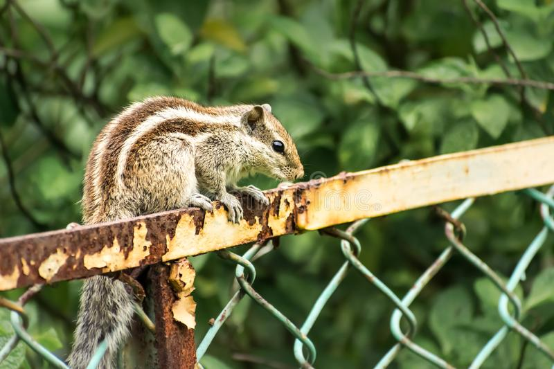 A small striped rodents marmots chipmunks squirrel monkey sciurus fauna adorable creature spotted on hunting mood sitting over. Rusty cage rod structure. Animal royalty free stock images