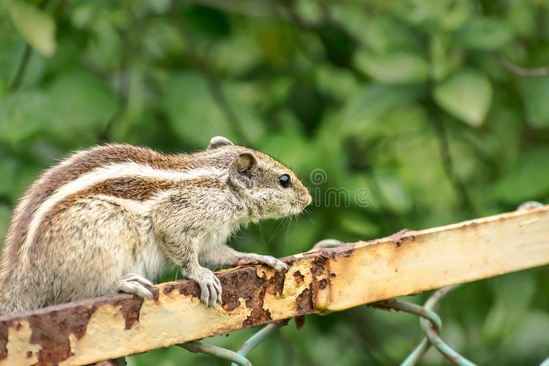 A small striped rodents marmots chipmunks squirrel monkey sciurus fauna adorable creature spotted on hunting mood sitting over. Rusty cage rod structure. Animal royalty free stock image