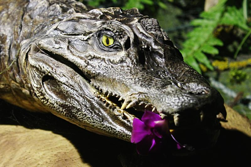 Small stuffed crocodile head of Caiman family in greenhouse with tropical plants with purple orchid flower in jaws stock image