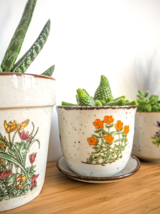 Small succulents in vintage flower pots on a wooden desk against a white background stock photography