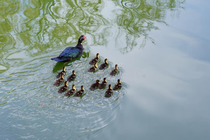 Small sucks and mother. Taken in a lake in the Tampa campus of the University of South Florida stock photography