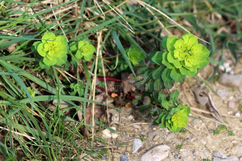 Small Sun spurge or Euphorbia helioscopia herbaceous annual flowering plants with oval leaves and small yellow green flowers stock images