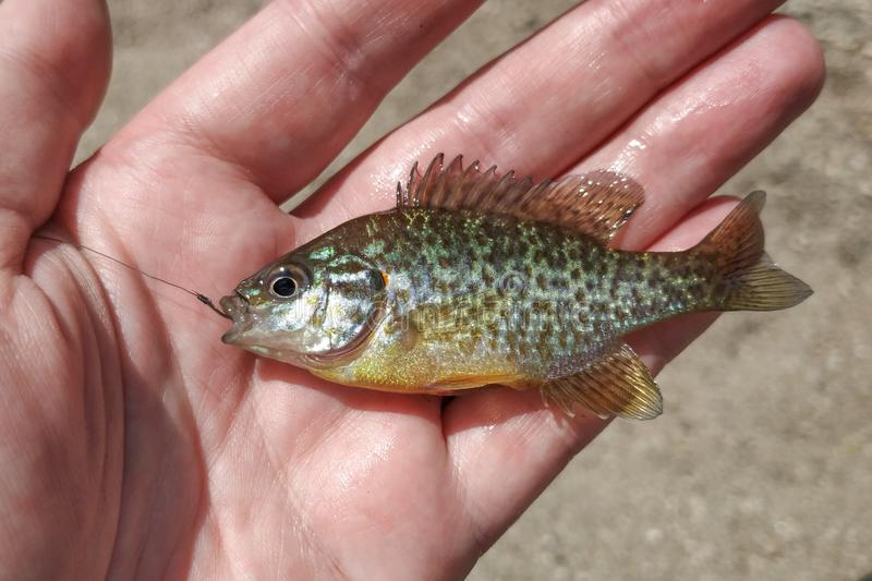 Small sunfish / pumpkinseed fish Lepomis gibbosus with fishing hook in mouth, held in hand. By fisherman royalty free stock image