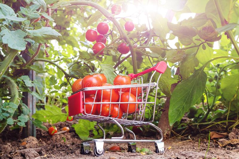 A small supermarket trolley with cherry tomatoes stock image