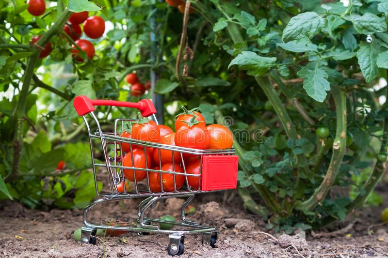 A small supermarket trolley with cherry tomatoes royalty free stock photography