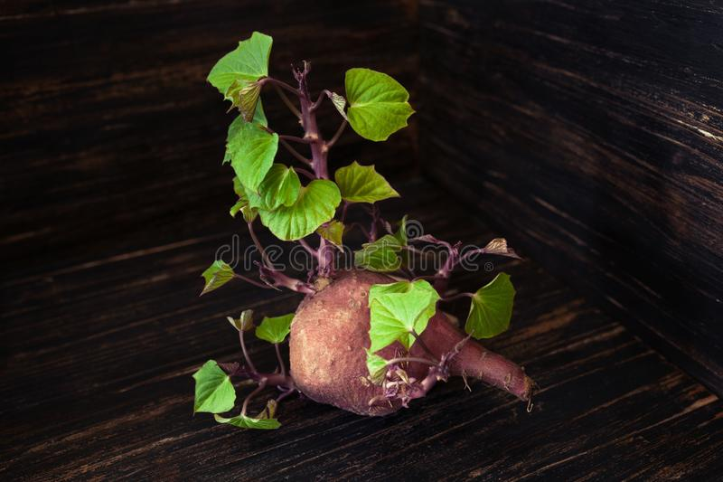 Small sweet potato sprouting fresh green leaves royalty free stock photos