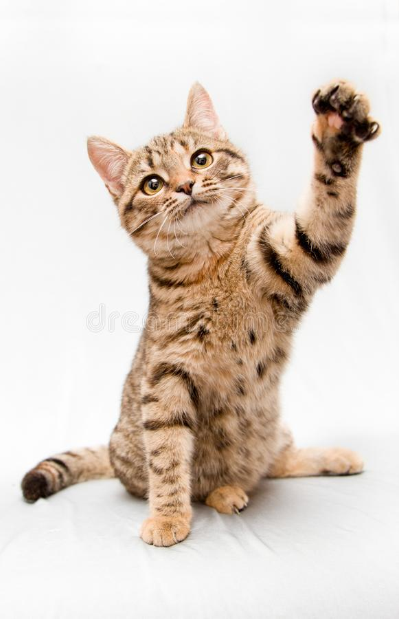 A little tabby cat waves his paw and says bye. A small tabby cat on a white background waving its paw and says bye royalty free stock photography