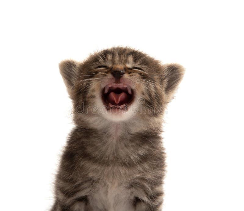 Small tabby kitten crying stock photo