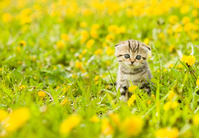Small tabby kitten sitting on a dandelion field royalty free stock image