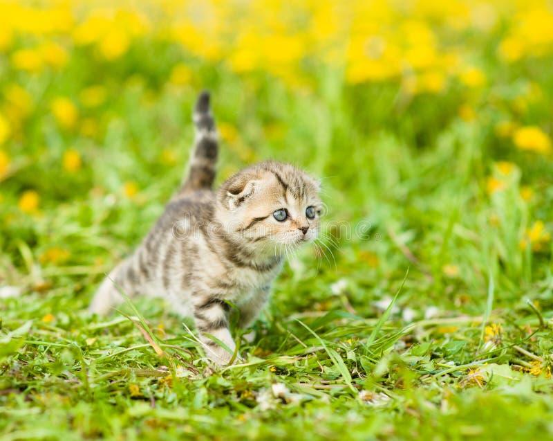 Small tabby kitten walking on a dandelion field royalty free stock photos