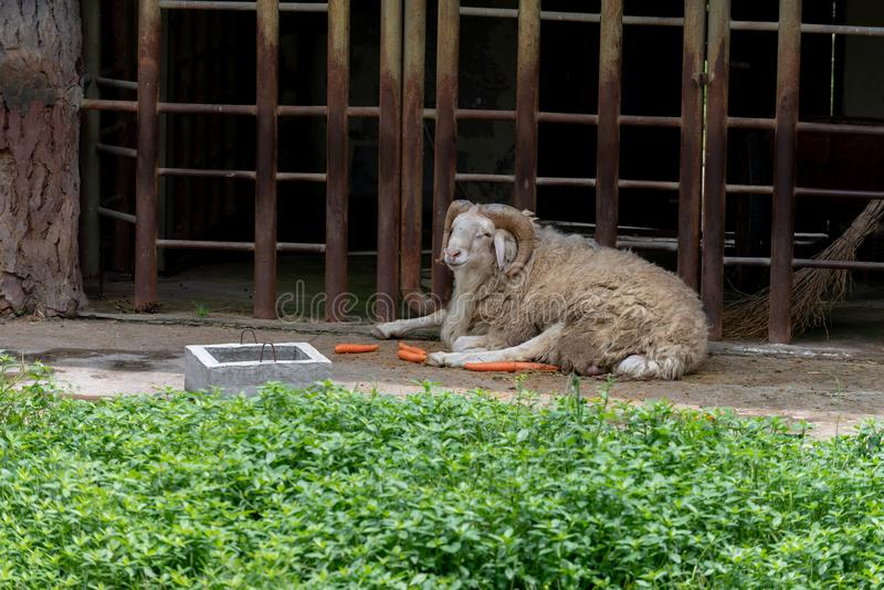 Adult sheep-Ovis aries. Small Tail Han sheep, a subfamily of Niu and Yang subfamily, is a breed of Chinese meat and fur concurrently type sheep. It has long stock photo