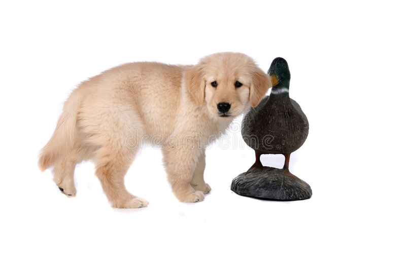 Small tan puppy next to duck decoy. On high key background stock photo