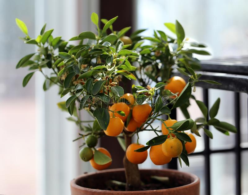 Small Tangerine Tree with Ripe Fruits Photographed in an Indoor Garden. Small tangerine tree in an indoor garden. In this photo you can see the tiny tree with stock photo