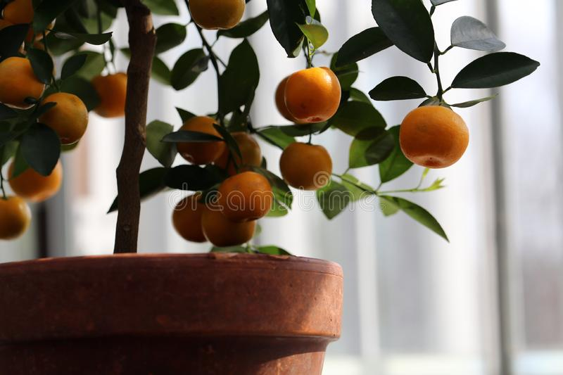 Small Tangerine Tree with Ripe Fruits Photographed in an Indoor Garden. Small tangerine tree in an indoor garden. In this photo you can see the tiny tree with stock images