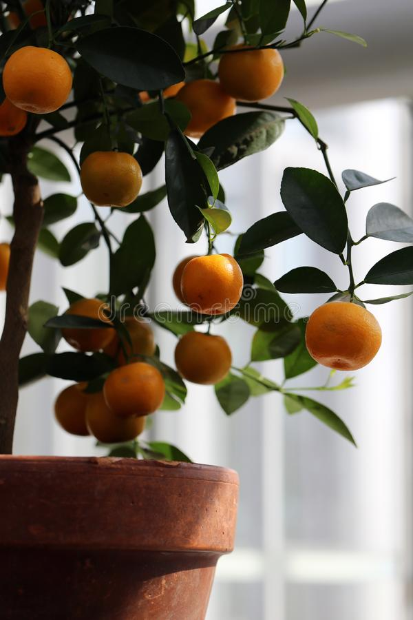 Small Tangerine Tree with Ripe Fruits Photographed in an Indoor Garden. Small tangerine tree in an indoor garden. In this photo you can see the tiny tree with stock image