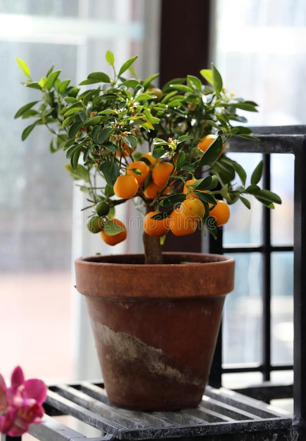 Small Tangerine Tree with Ripe Fruits Photographed in an Indoor Garden. Small tangerine tree in an indoor garden. In this photo you can see the tiny tree with royalty free stock photos