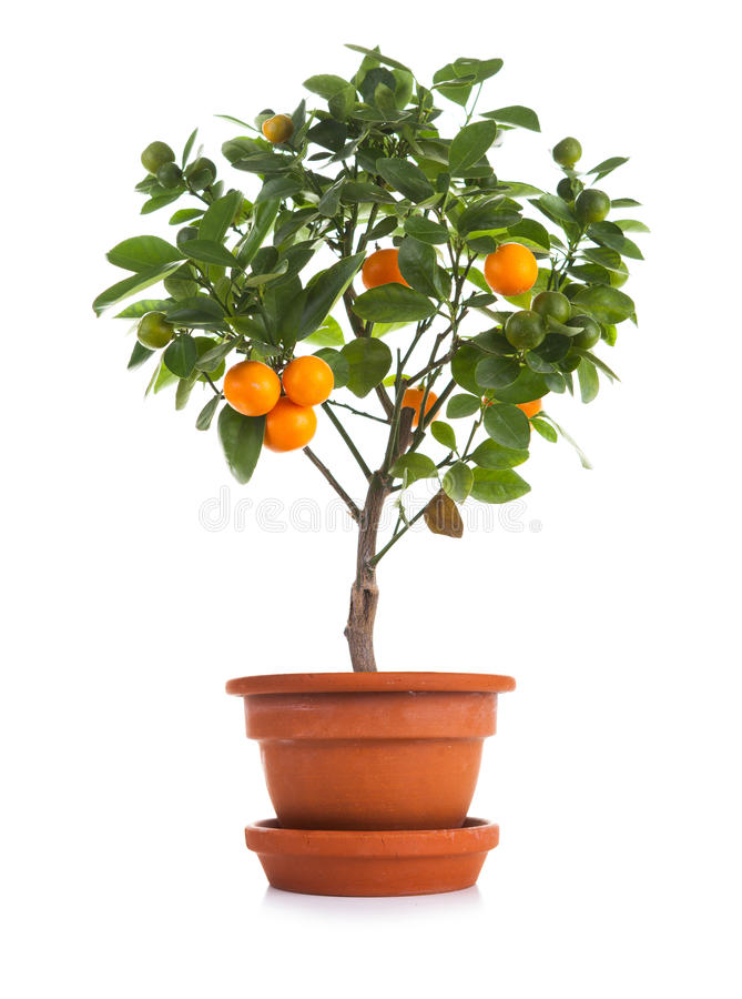 Small tangerines tree in pot. Over white background royalty free stock photo