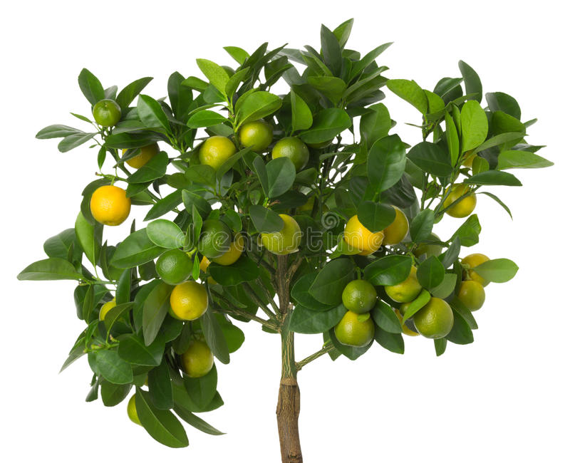 Small tangerines tree. On white background stock image