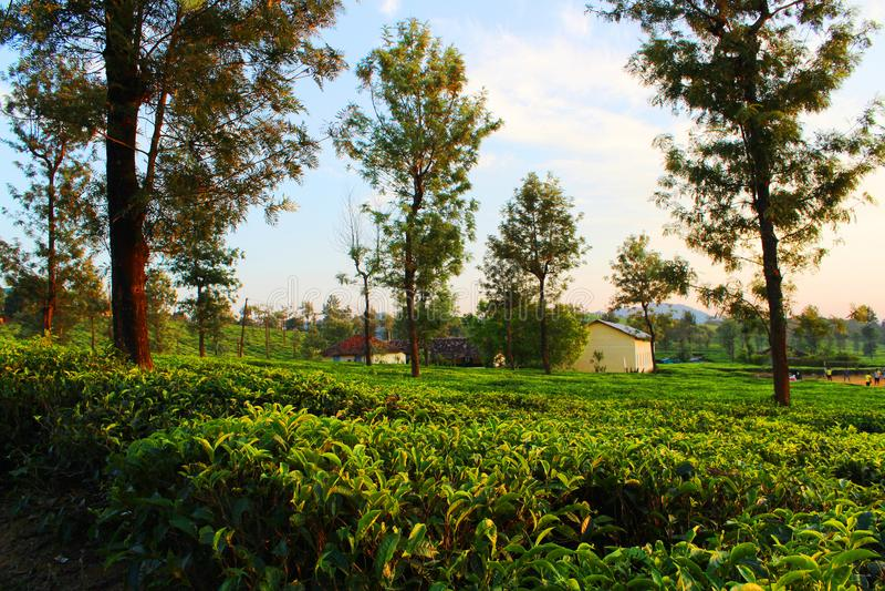 Small Tea Estate stock photography