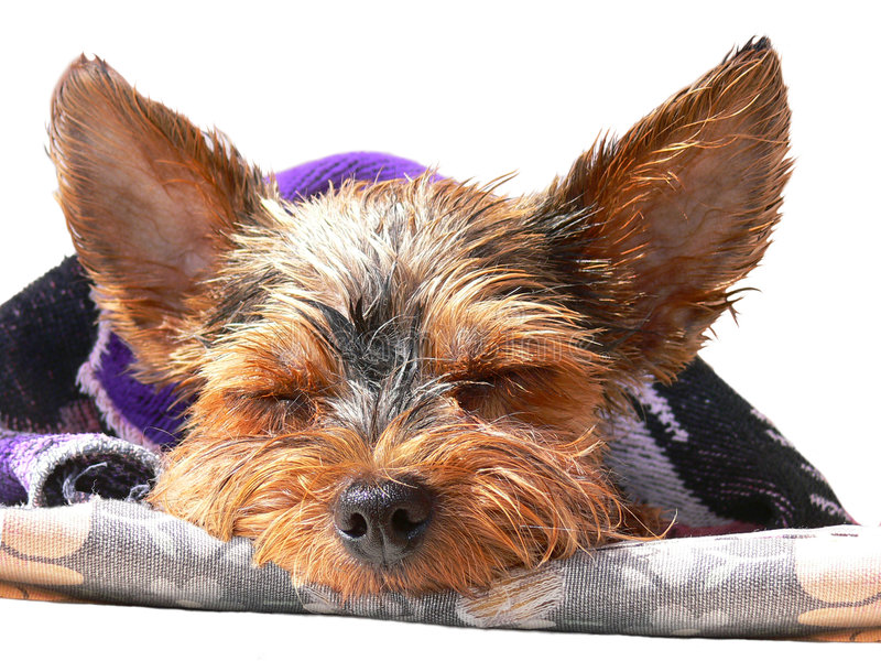 Download Small terrier stock image. Image of canine, pets, collar - 7137183
