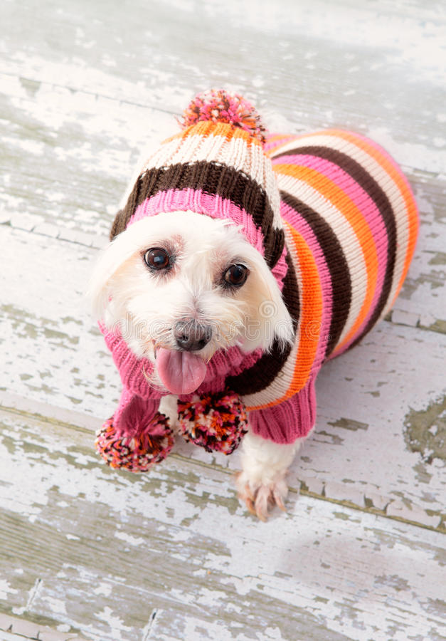 Small terrier wearing winter fashion stock photo