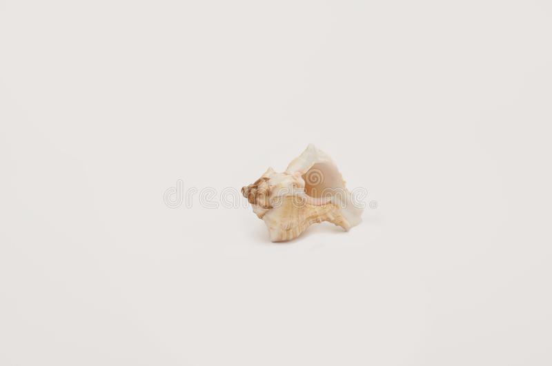 Small seashell on a white background. royalty free stock photography