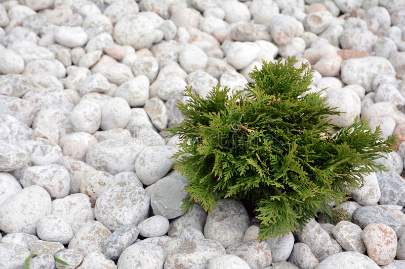 Small Thuja occidentalis Danica decorated with cobblestone.  royalty free stock photography