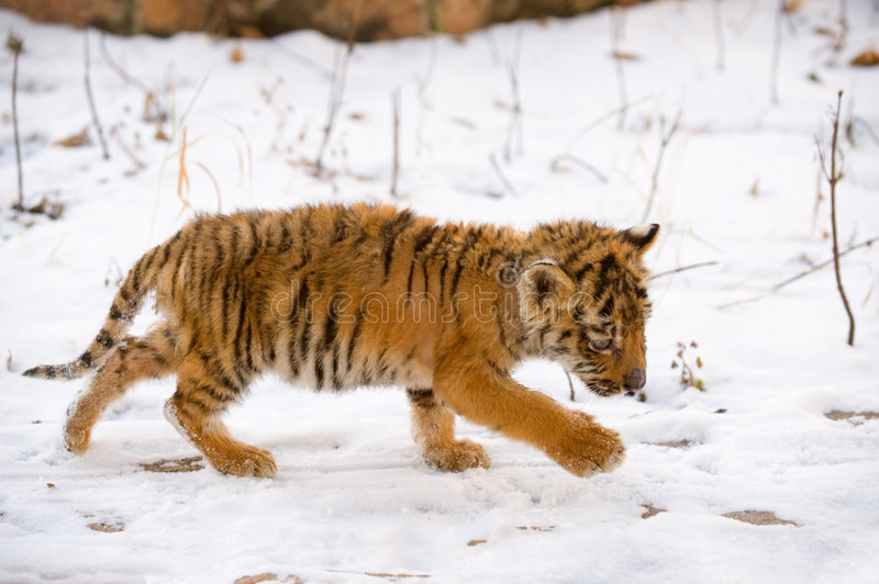 Small Tiger Royalty Free Stock Photography