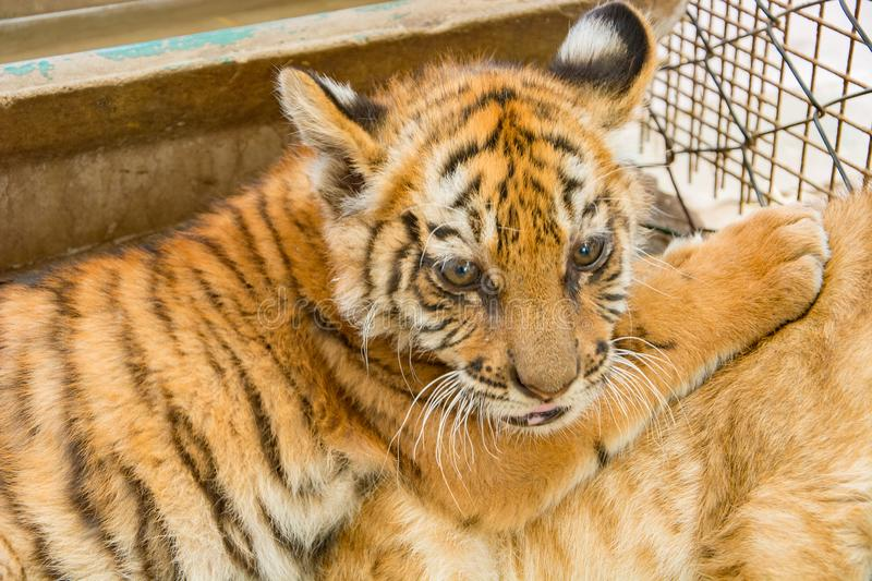 Small tiger cub. In zoo royalty free stock photos