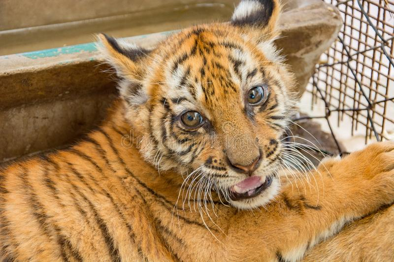 Small tiger cub. In zoo royalty free stock images