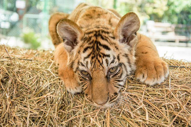 Small tiger cub. In zoo stock photos