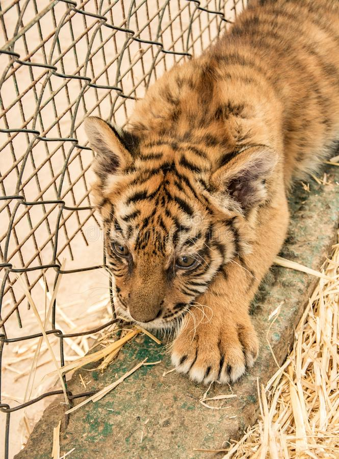 Small tiger cub. In zoo stock photography