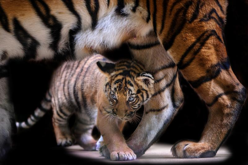 Small tiger cub walking under tiger mother body stock photo
