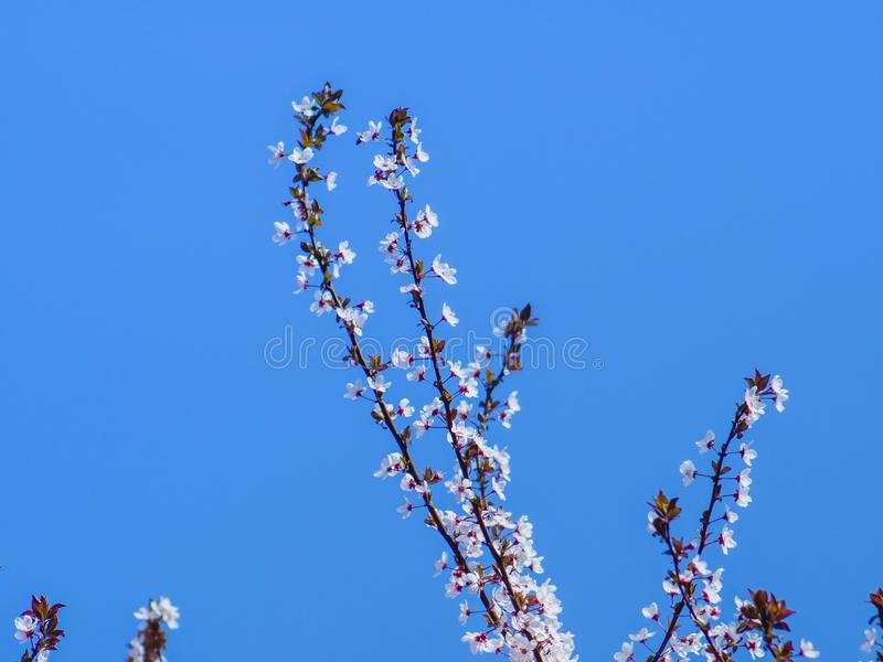 Small tiny gentle flowers on top branches of a tree - clear blue sky in the background stock photo