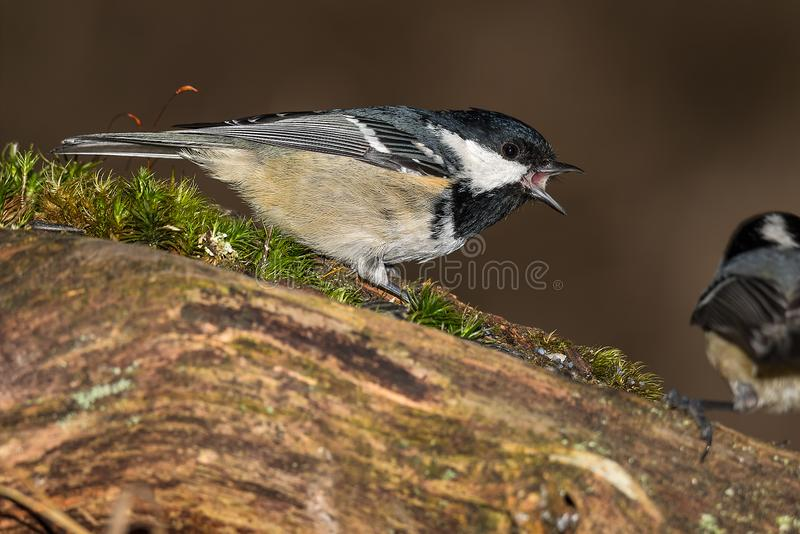 Small tit is sitting on the branch royalty free stock photo