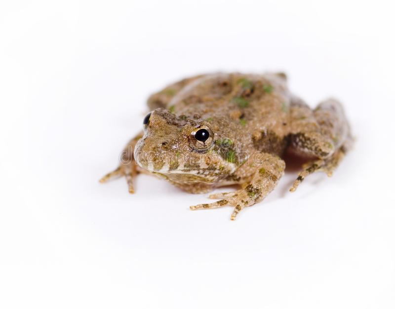 Small toad on white background stock images
