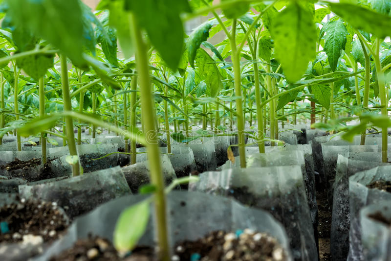 Small tomato plants in a greenhouse for transplanting.  stock photography