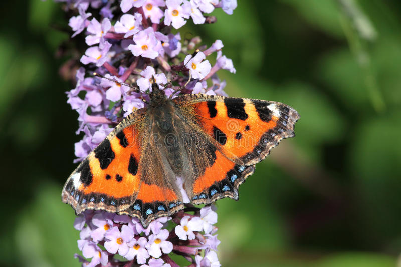 Download Small Tortoise Shell Butterfly. Stock Photo - Image: 15980586