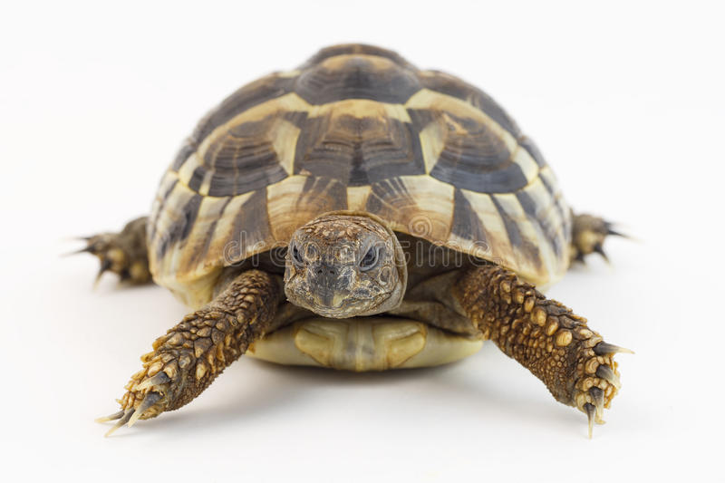 Small tortoise (turtle) royalty free stock photo
