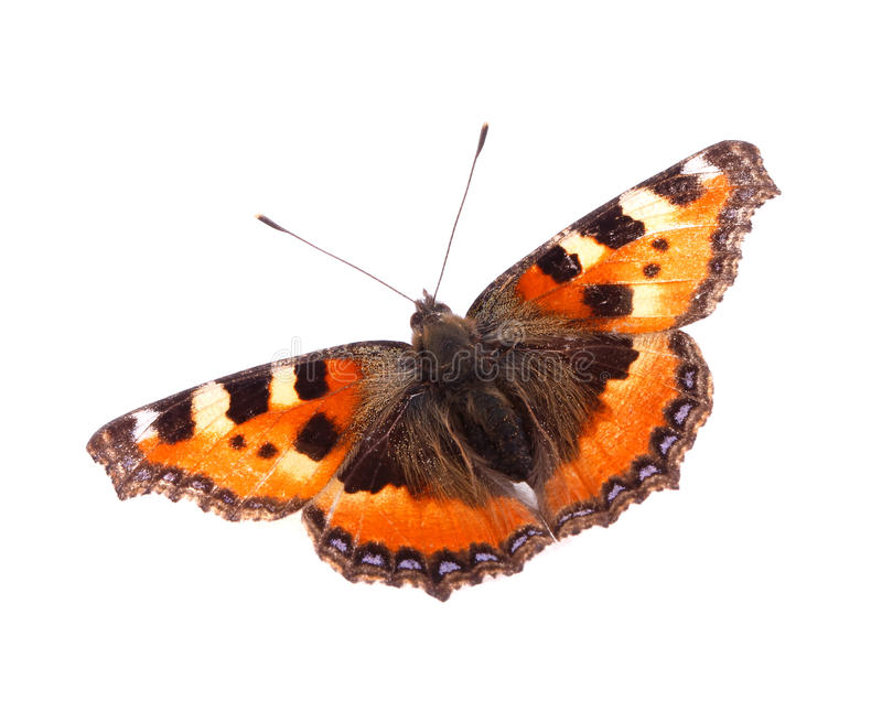 Small Tortoiseshell. A Small Tortoiseshell (Aglais urticae) butterfly isolated on white background royalty free stock images