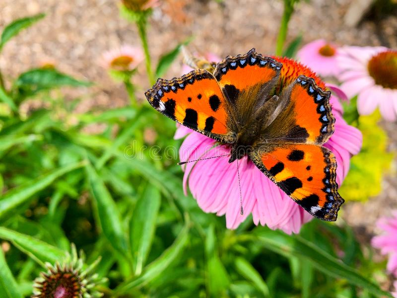 The small tortoiseshell Aglais urticae is a colourful Eurasian butterfly in the family Nymphalidae.  royalty free stock photography